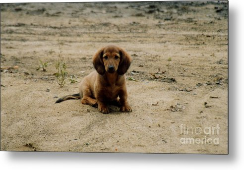 Puppy Metal Print featuring the photograph Puppy On The Beach by Nancie Johnson