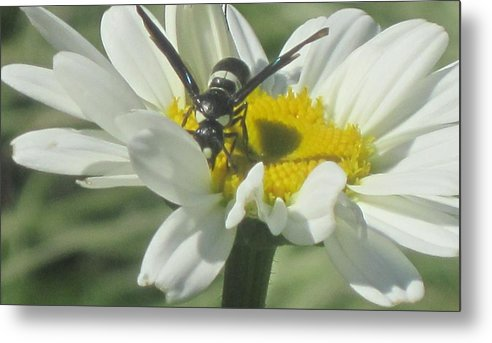 Wasp Metal Print featuring the photograph Wasp On Daisy by Marjorie Tietjen