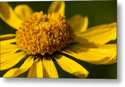 Flower Metal Print featuring the photograph Yellow Saucer by Patrick Moore