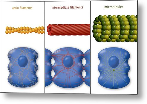 Protein Metal Print featuring the photograph Cytoskeleton Components, Diagram by Art For Science