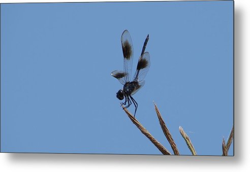 Dragonflies Metal Print featuring the photograph Four Spotted Pennant by Bruce W Krucke