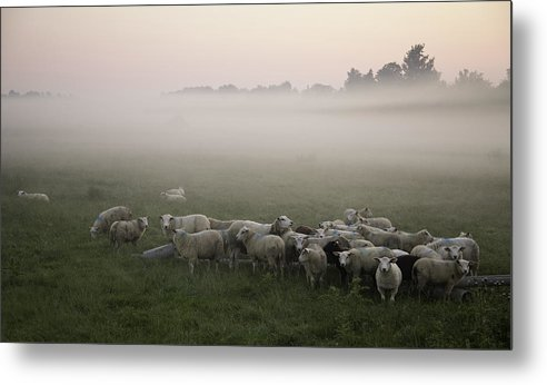 Horizontal Metal Print featuring the photograph Sheep And Morning Fog by Hjbh