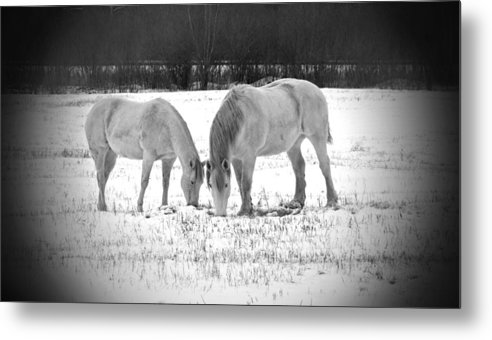 Animal Photograph Metal Print featuring the photograph Snow White Beauties by Ms Judi