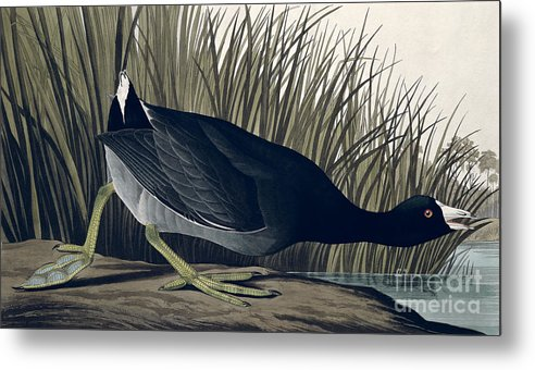 American Coot Metal Print featuring the painting American Coot by John James Audubon