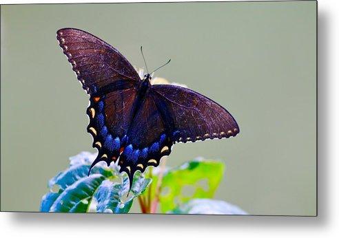 Nature Metal Print featuring the photograph Beautiful Butterfly by Tara Ballard