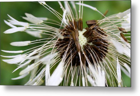 Dandelion Metal Print featuring the photograph Bedraggled Dandelion by Annie Babineau