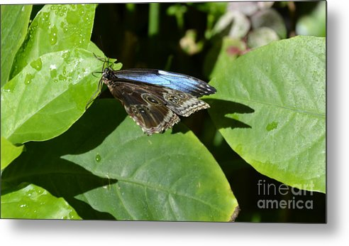 Blue Morpho Metal Print featuring the photograph Blue Morpho Among The Leaves by Mithayil Lee