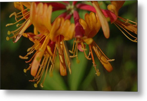 Honeysuckle Metal Print featuring the photograph Flower Tongues by Jean Booth