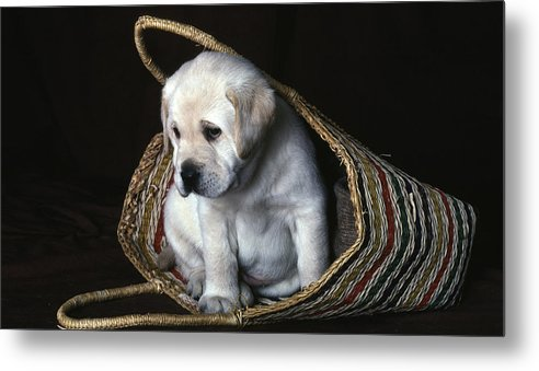 Labrador Metal Print featuring the photograph Puppy In A Basket by Gordon Henderson