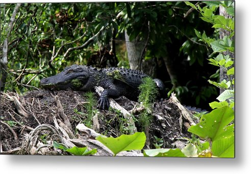 American Alligator Metal Print featuring the photograph Sleeping Alligator by Barbara Bowen