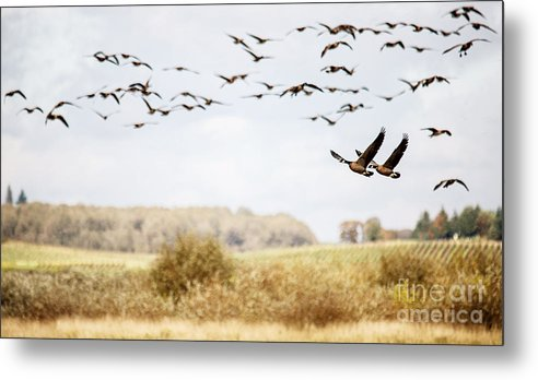 Geese Metal Print featuring the photograph Taking Off by Rebecca Cozart
