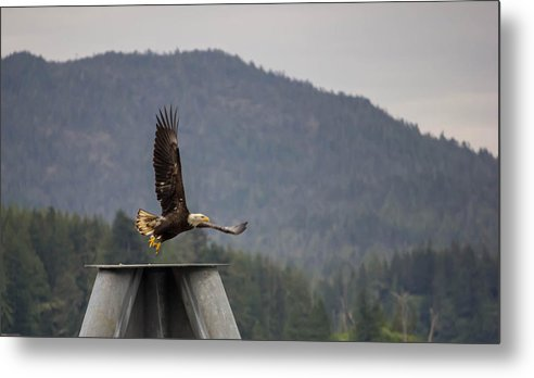 Eagle Metal Print featuring the photograph Takeoff by Timothy Latta