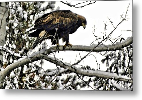 Eagles Metal Print featuring the photograph Golden Eagle Watches by Don Mann