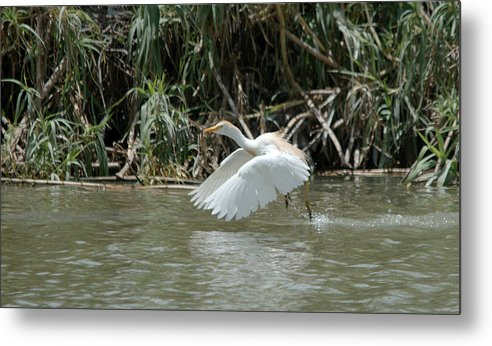 Roy Williams Metal Print featuring the photograph Cattle Egret Cooling Off In The Lake by Roy Williams