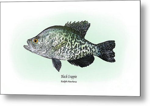 Crappie Metal Print featuring the drawing Black Crappie by Ralph Martens