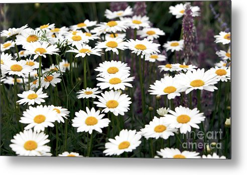 Montreal Metal Print featuring the photograph Daisies by John Rizzuto
