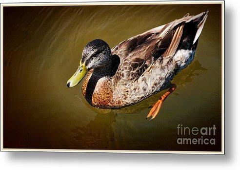 Mallard Duck Metal Print featuring the photograph Young Mallard by Pamela Blizzard
