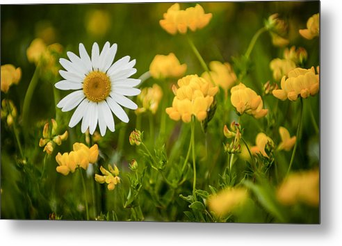 Flower Metal Print featuring the photograph Buttercup Daisy by Richard ONeil