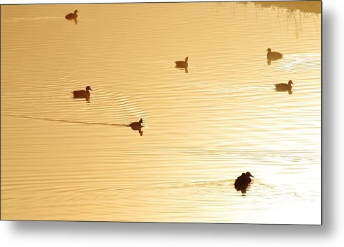 Ducks; Swimming; Pond; Golden; Morning Light; Birds; Early; Fog; Background; Fence; Swartland; South Africa; Metal Print featuring the photograph Golden Pond by Werner Lehmann