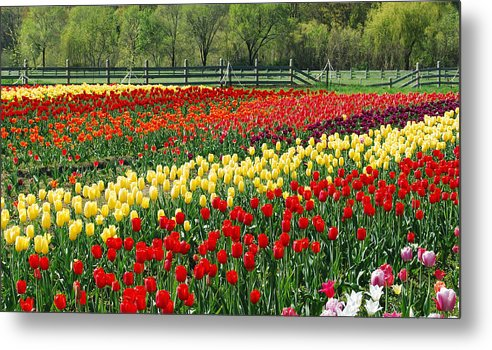 Tulip Metal Print featuring the photograph Holland Tulip Fields by Michael Peychich