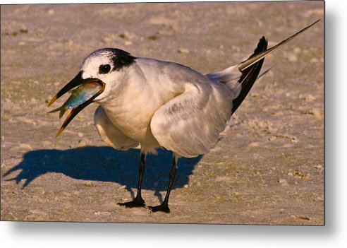 Seagull Metal Print featuring the photograph Mouthful by PMG Images
