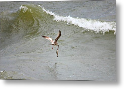 Ring Gull Metal Print featuring the photograph Ring Gull Dinner by Joel Rams