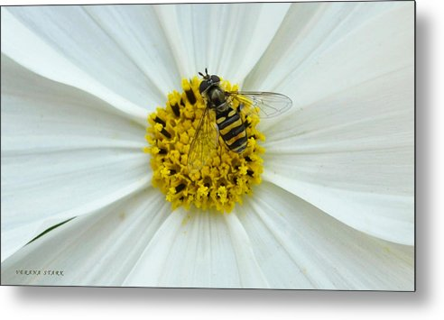 Bee Metal Print featuring the photograph Up Close With The Bee And The Cosmo by Verana Stark