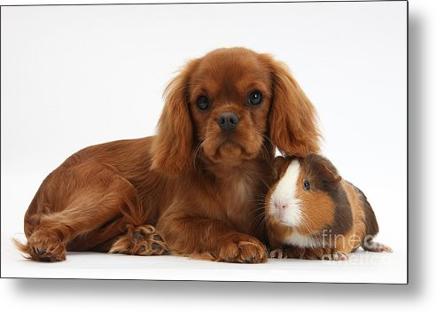 Nature Metal Print featuring the photograph Ruby Cavalier King Charles Spaniel Pup by Mark Taylor