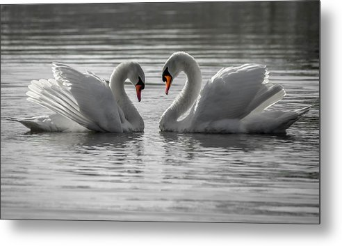 Metal Print featuring the photograph Mute Swans by Brian Stevens