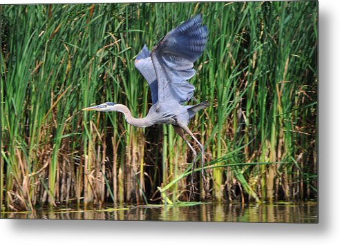 Blue Heron Metal Print featuring the photograph Blue Heron by Eugene Gabry