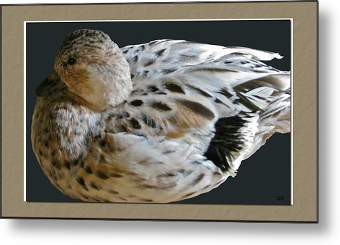 Duck Metal Print featuring the photograph Duck by Debra   Vatalaro