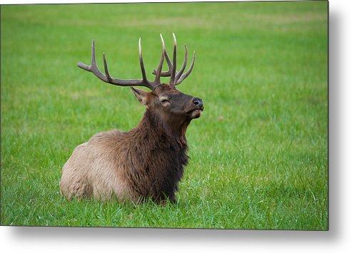 Adult Metal Print featuring the photograph Resting Elk by Joye Ardyn Durham