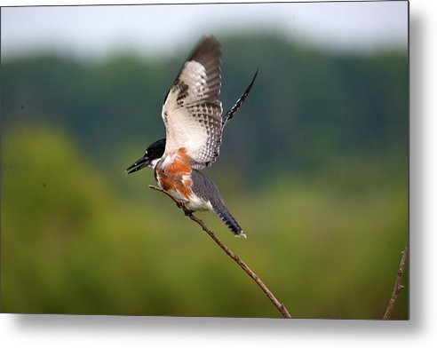 Belted Kingfisher Metal Print featuring the photograph Kingfisher by Linda Kerkau