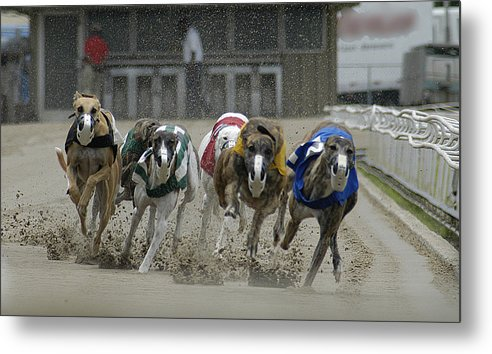 Greyhounds Metal Print featuring the photograph At The Track by D'Arcy Evans