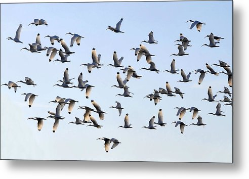 White Ibis Metal Print featuring the photograph Flight Of The White Ibis by David Lee Thompson