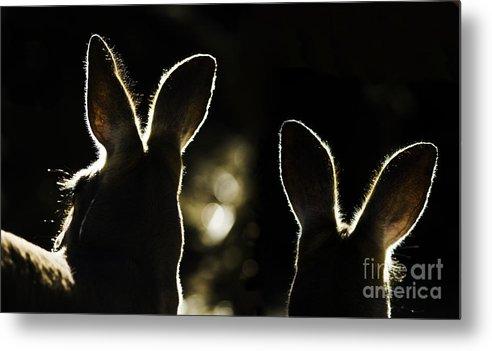 Kangaroo Metal Print featuring the photograph Kangaroos Backlit by Sheila Smart Fine Art Photography