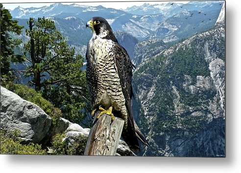 Peregrine Falcon Metal Print featuring the mixed media Peregrine Falcon, Yosemite Valley, Western Sierra Nevada Mountain, Echo Ridge by Thomas Pollart