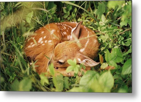 Deer Metal Print featuring the photograph 080806-17 by Mike Davis