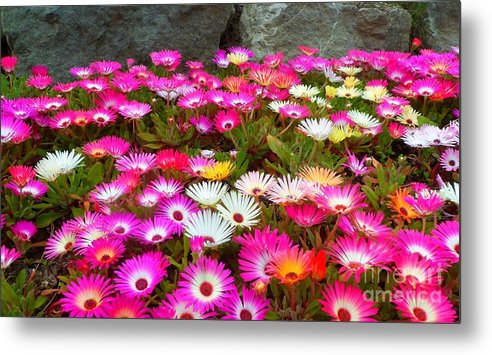 Flowers. Pinks. White. Yellows. Colourful. Landscape. Metal Print featuring the photograph Colourful Flowers by Beth Grant