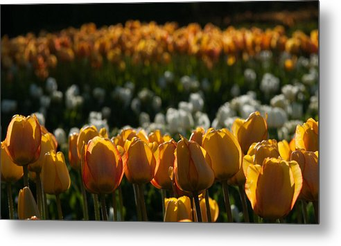 Tulip Metal Print featuring the photograph Evening Glow by Steve Wygant