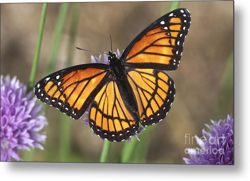 Metal Print featuring the photograph Beauty With Wings by Deborah Benoit
