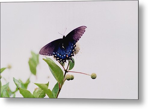 Butterfly Metal Print featuring the photograph 080706-5 by Mike Davis