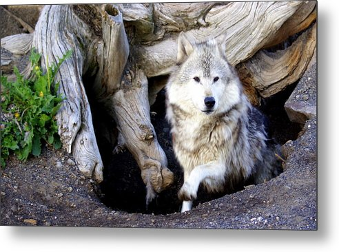 Wolf Metal Print featuring the photograph Wolf Den 1 by Marty Koch