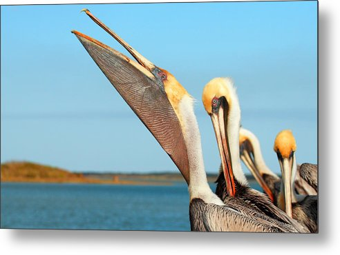 Brown Pelican Metal Print featuring the photograph Pouch And Preen by Andrew McInnes