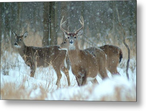 Deer Metal Print featuring the photograph 011110-57 by Mike Davis