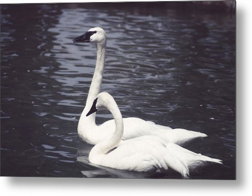 Swan Metal Print featuring the photograph 92347-8 by Mike Davis