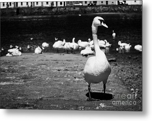 Galway Metal Print featuring the photograph large swan on slipway protecting flock in galway bay Galway city county Galway Republic of Ireland by Joe Fox