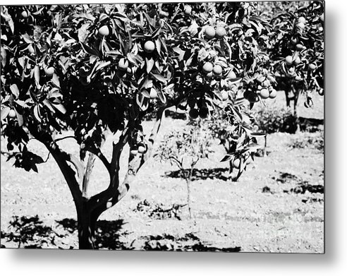Europe Metal Print featuring the photograph branches of green unripened oranges on an orange tree bush growing in a garden Tenerife Canary Islands Spain by Joe Fox