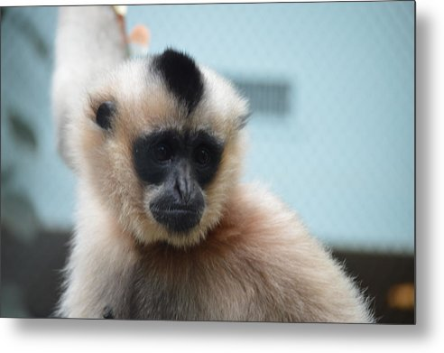 Gibbon Metal Print featuring the photograph Gibbon by Jonathan Fly