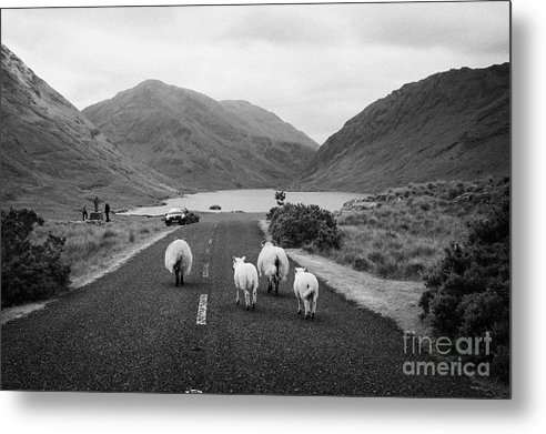 Ireland Metal Print featuring the photograph sheep walking away from camera down the middle of the road Doulough mayo ireland by Joe Fox